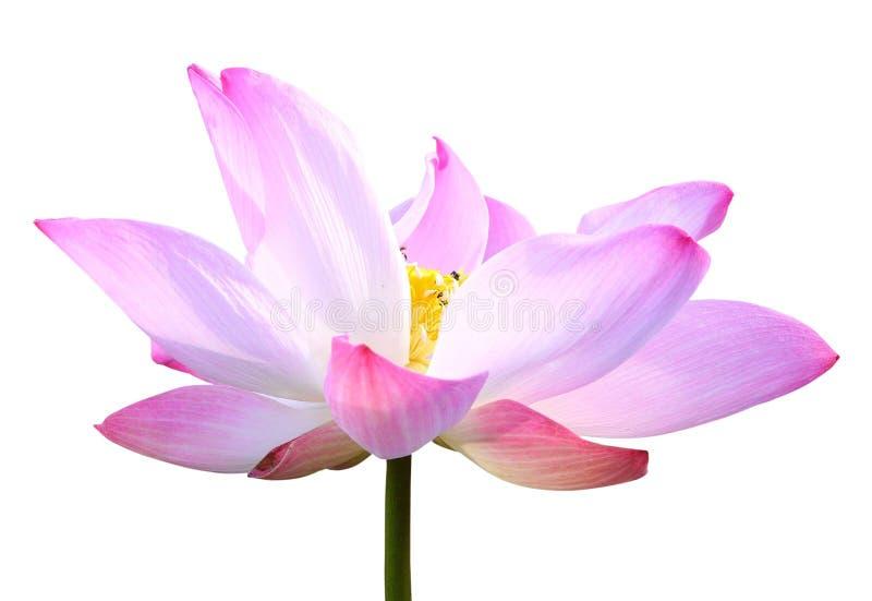 Bello fiore di loto rosa isolato su bianco Risparmiato con il clippi fotografie stock