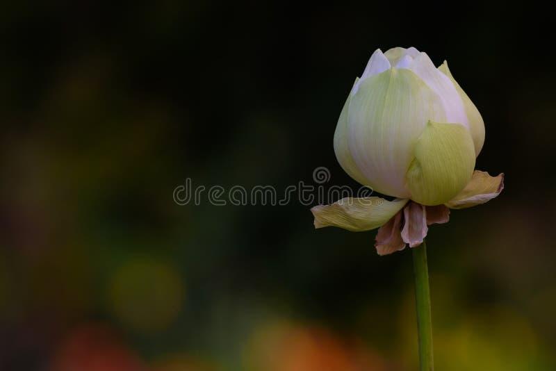 Bello fiore di Lotus bianco con fondo scuro e verde fotografia stock