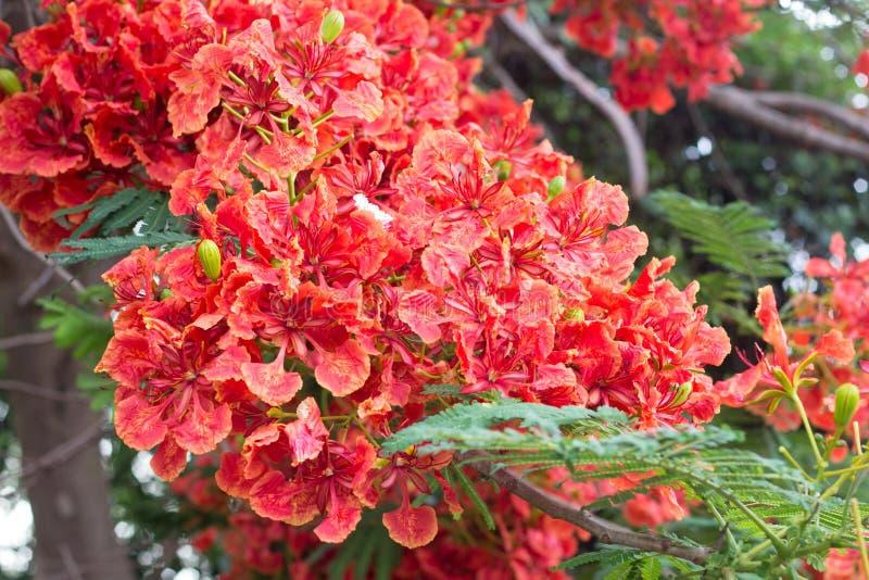 Bello fiore di pavone rosso in natura immagini stock