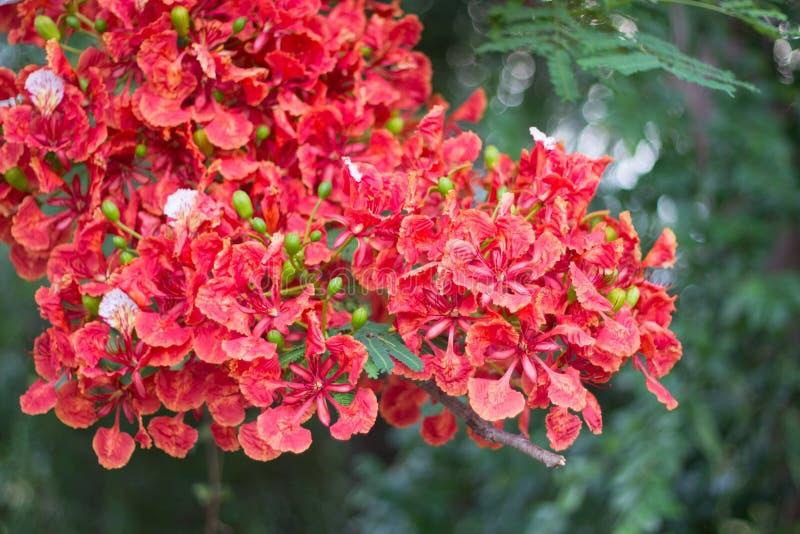 Bello fiore di pavone rosso in natura fotografie stock