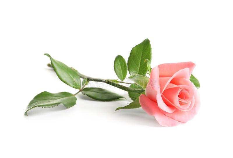 Bello fiore di rosa immagini stock