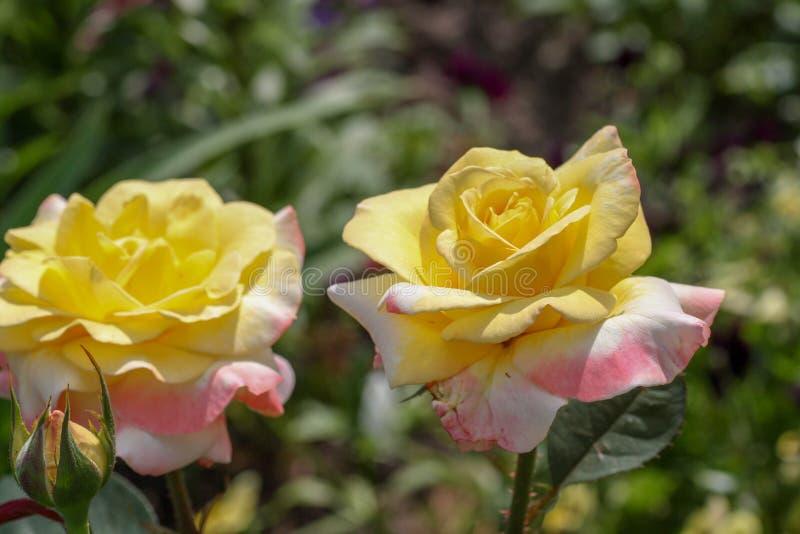 Bello fiore di rosa fotografie stock