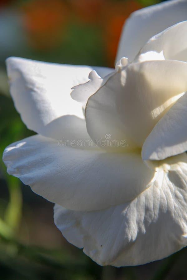 Bello fiore di rosa immagine stock libera da diritti