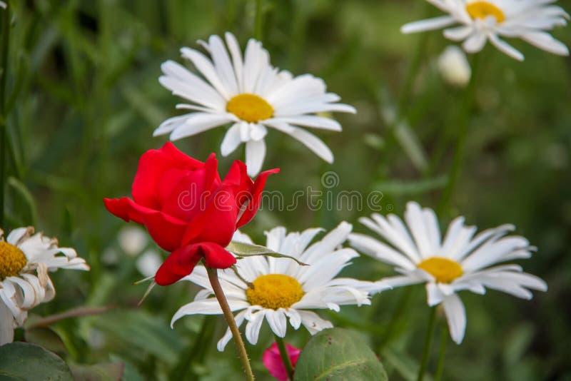 Bello fiore di rosa fotografia stock