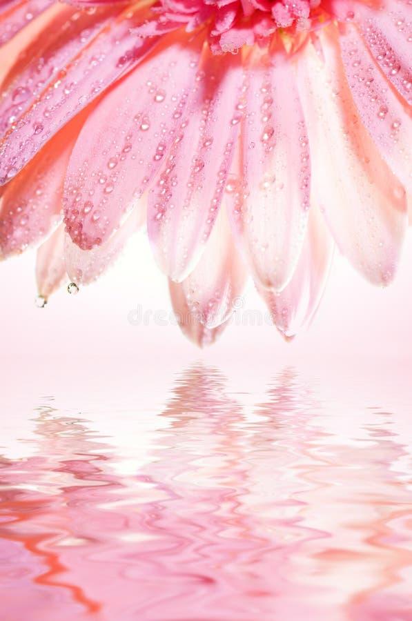 Bello fiore di rosa fotografie stock libere da diritti