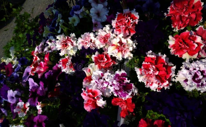 Bello fiore di Terry fotografie stock