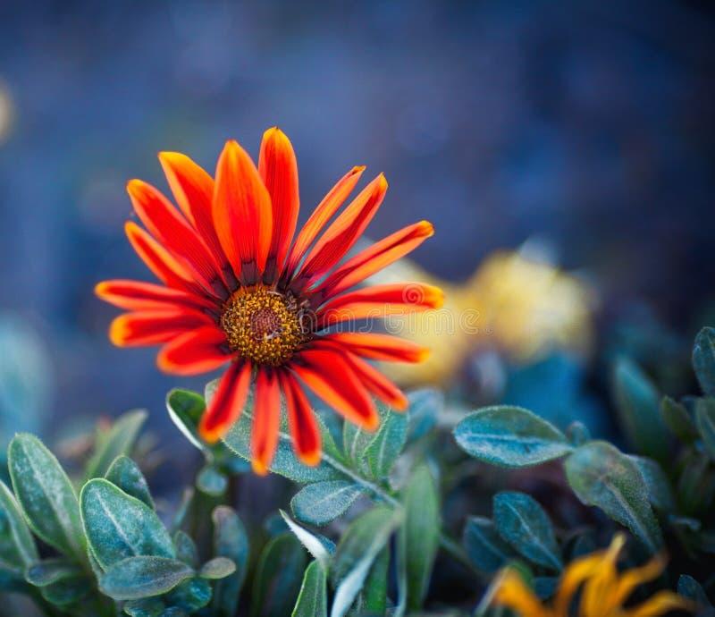 Bello fiore di una gerbera rossa estate, molla, natura immagini stock libere da diritti