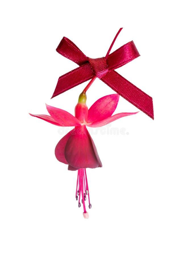 bello fiore fucsia con l'arco rosso isolato sul backgrou bianco fotografia stock
