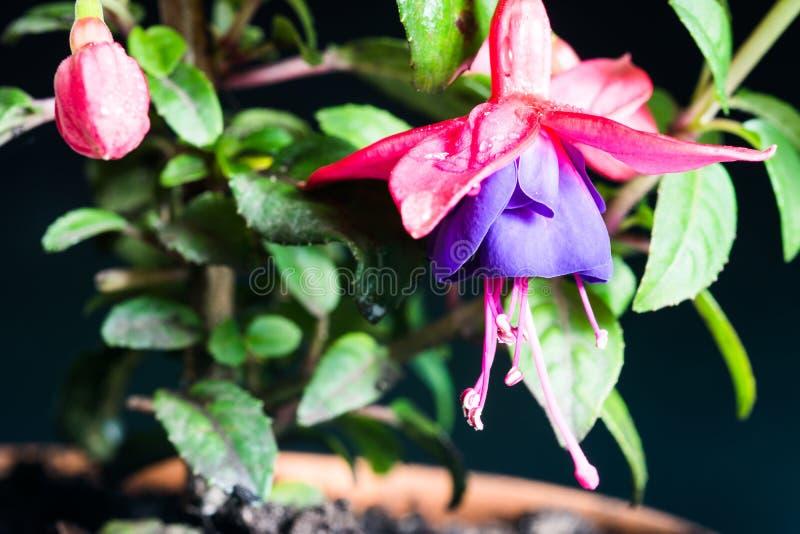 Bello fiore fucsia in un vaso isolato fotografia stock