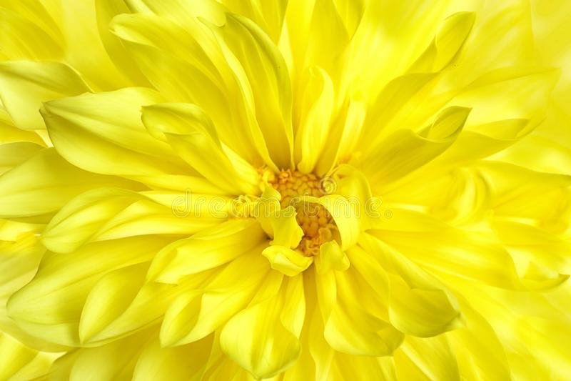 Bello fiore giallo della dalia, vista del primo piano fotografie stock libere da diritti