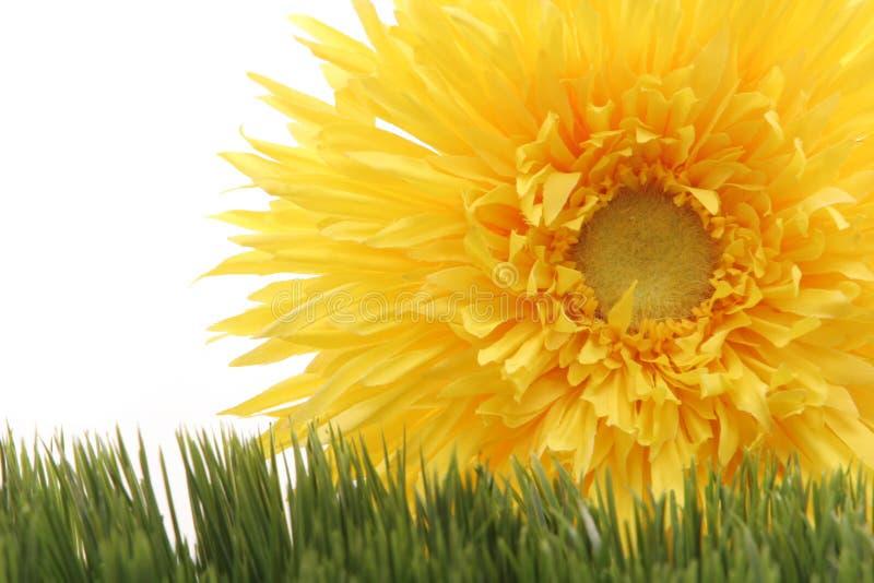 Bello fiore giallo della margherita del gerbera su erba verde isolata su priorità bassa bianca fotografia stock