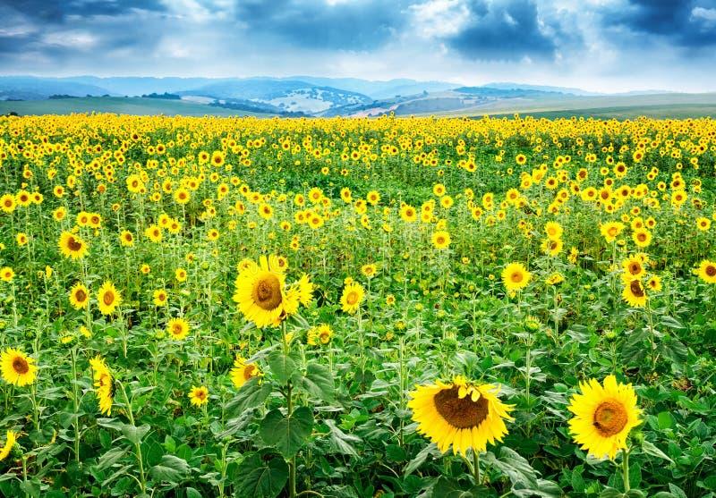 Bello fiore giallo luminoso in un campo dei girasoli fotografia stock