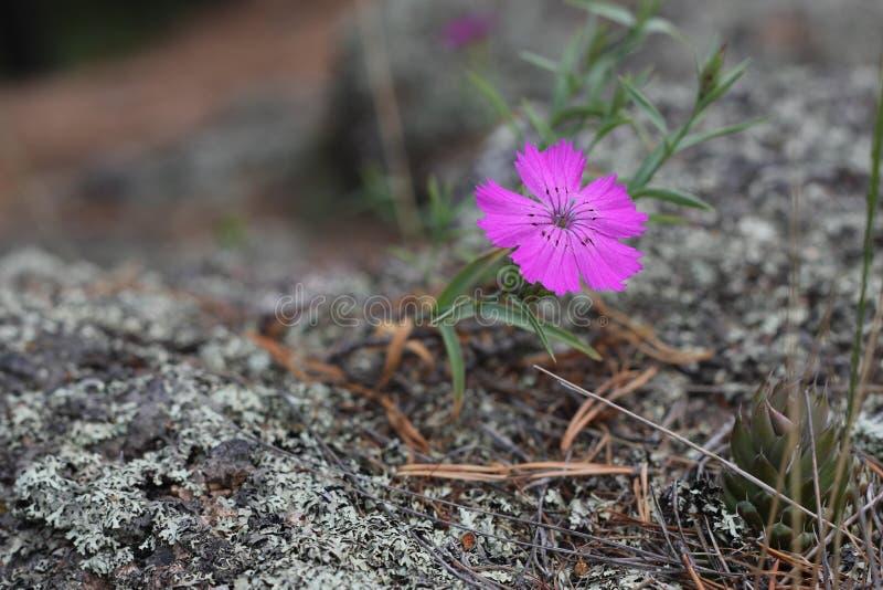 Bello fiore lilla su un fondo grigio fotografia stock