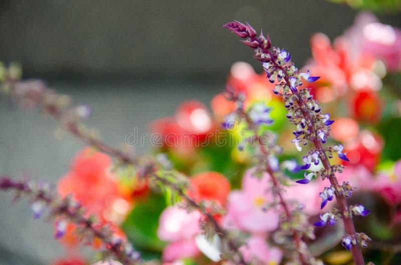 Bello fiore porpora del lupino in sole luminoso di estate fotografie stock libere da diritti