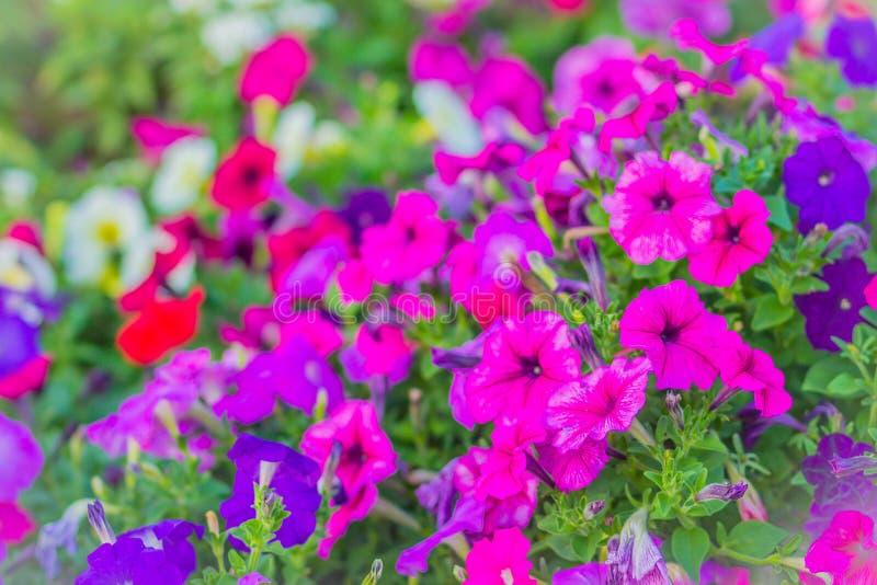Bello fiore porpora rosa della petunia sull'aiola per fondo Le petunie sono una delle nostre piante floreali da aiuola dell'estat immagini stock libere da diritti