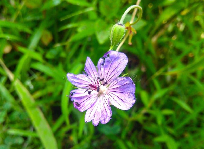 Bello fiore purpal fotografia stock libera da diritti