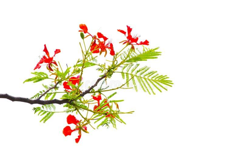 Bello fiore reale rosso di delonix regia di Poinciana sul suo ramo con le foglie verdi isolate su fondo bianco immagini stock libere da diritti