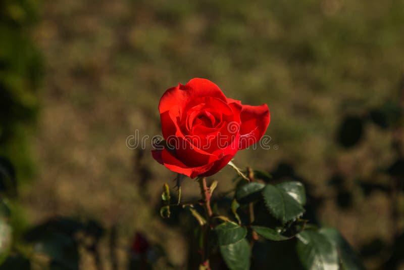 Bello fiore rosa come fondo festivo per un gre romantico fotografia stock