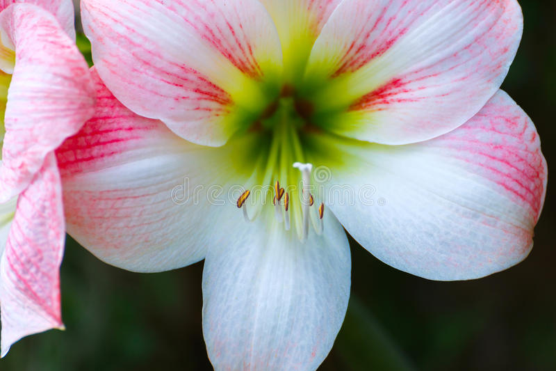 Bello fiore rosa concetto delle piante ornamentali delle for Fiori ornamentali