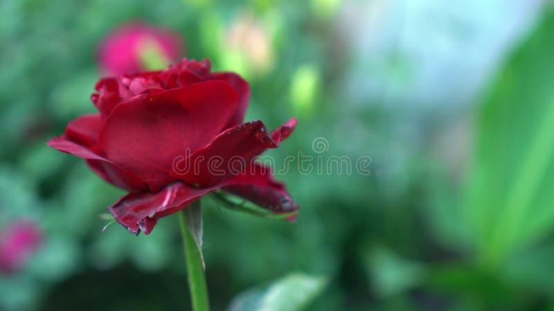 Bello fiore rosa di fioritura nel giardino di rose Fondo confuso verde della natura con il posto per testo summertime fotografia stock