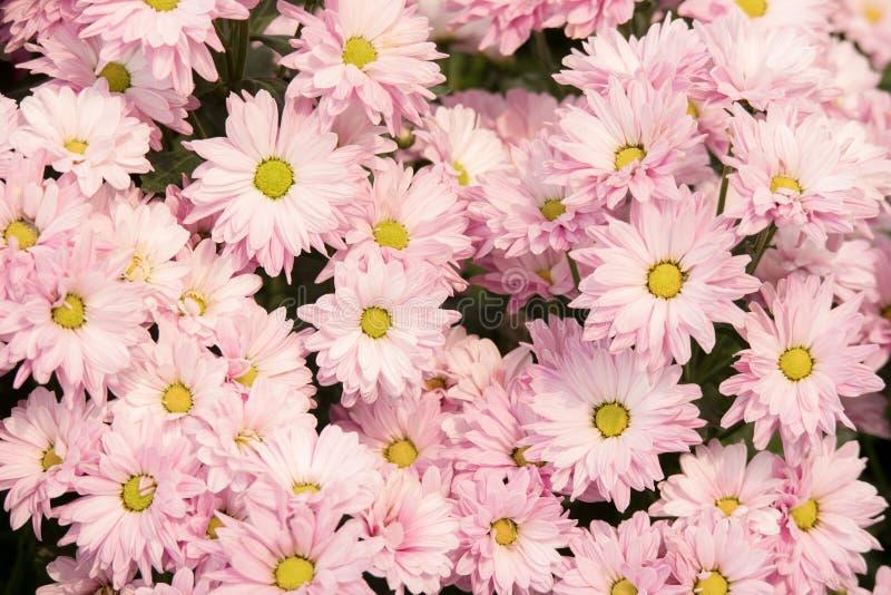 Bello fiore rosa di grandifflora di Dendranthemum del crisantemo immagine stock