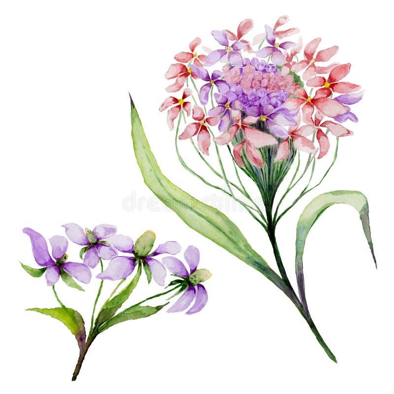 Bello fiore rosa e porpora del iberis su un gambo Il candytuft floreale dell'insieme fiorisce, foglie, germogli Isolato su priori royalty illustrazione gratis