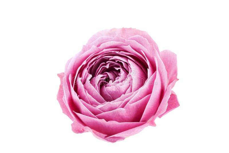 Bello fiore rosa isolato su fondo bianco fotografia stock libera da diritti
