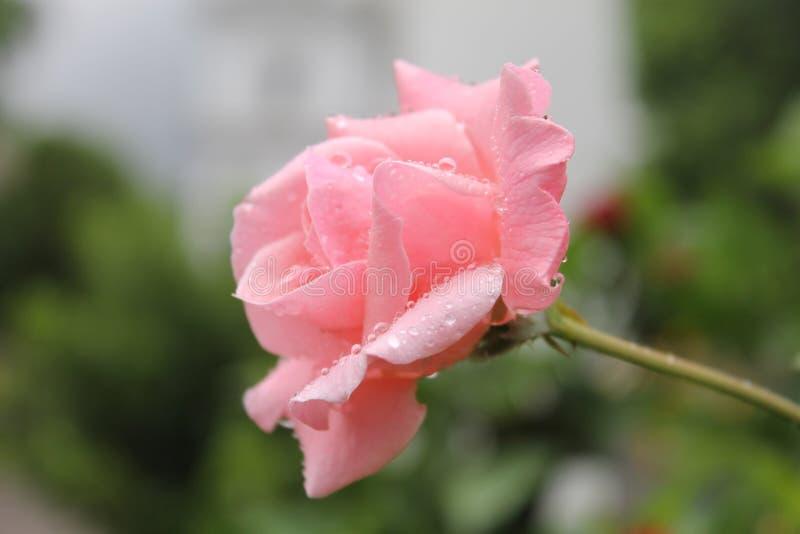 Bello fiore rosa in pieno delle gocce di acqua immagini stock libere da diritti