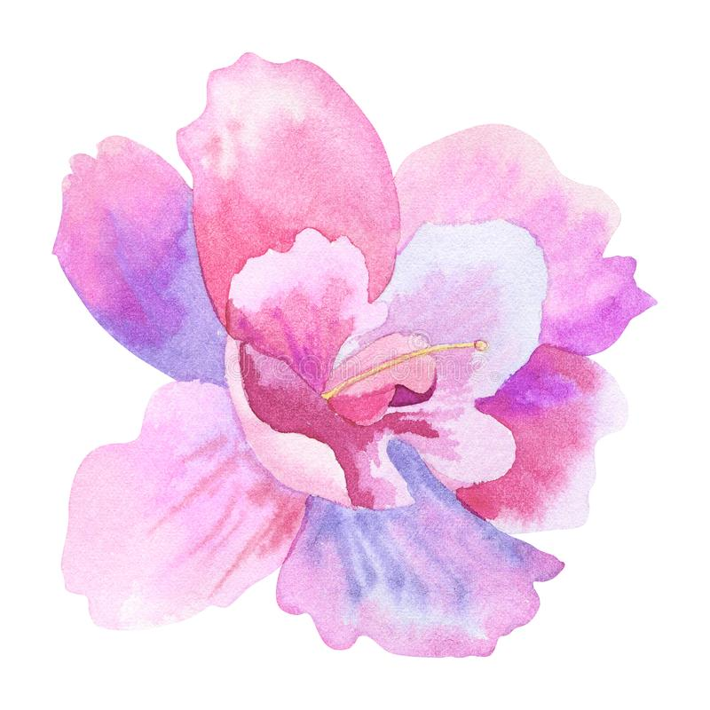 Bello fiore rosa porpora Illustrazione disegnata a mano dell'acquerello Isolato su priorit? bassa bianca illustrazione vettoriale