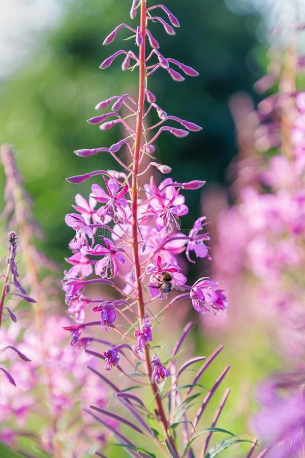 Bello fiore rosa su un fondo vago summertime fotografia stock libera da diritti