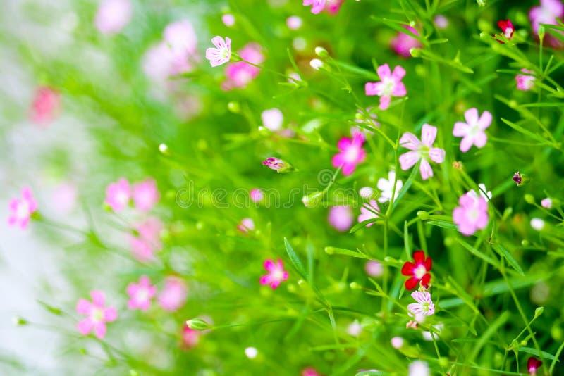 bello fiore rosa variopinto del boutique del gypsophila in giardino fotografia stock libera da diritti