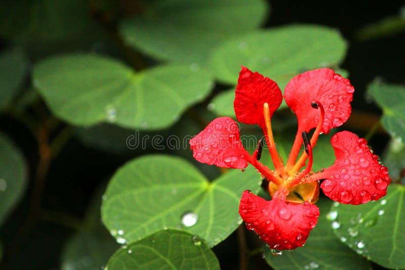 Bello fiore rosso con la rugiada di mattina fotografie stock libere da diritti