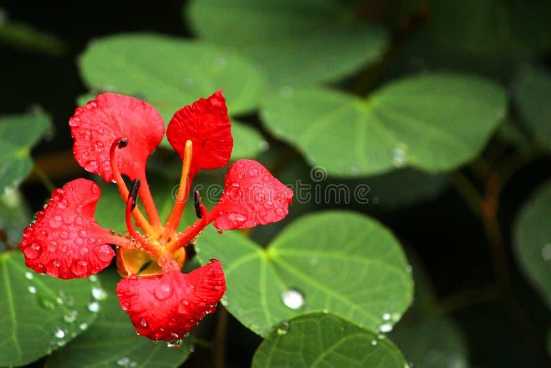 Bello fiore rosso con la rugiada di mattina immagini stock