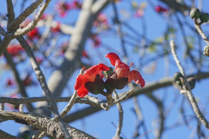 Bello fiore rosso del fiore della ceiba del Bombax immagini stock libere da diritti