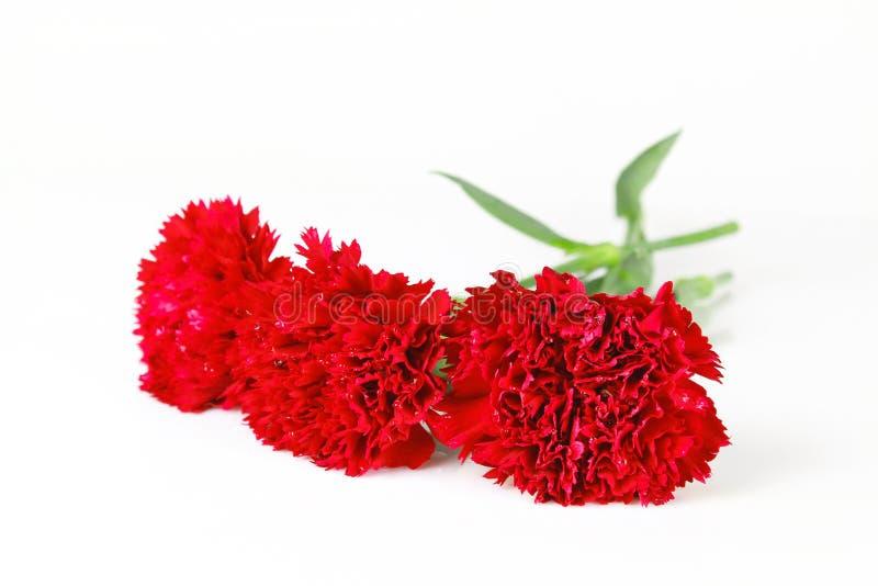 Bello fiore rosso del garofano immagine stock