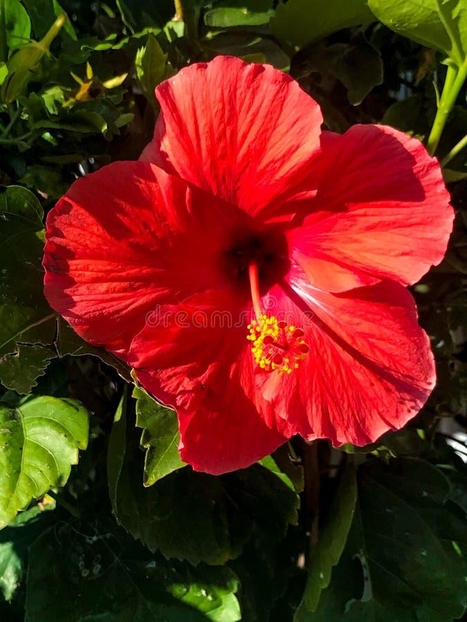Bello fiore rosso dell'ibisco su Sunny Day immagine stock libera da diritti