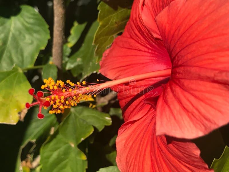 Bello fiore rosso dell'ibisco su Sunny Day fotografie stock libere da diritti