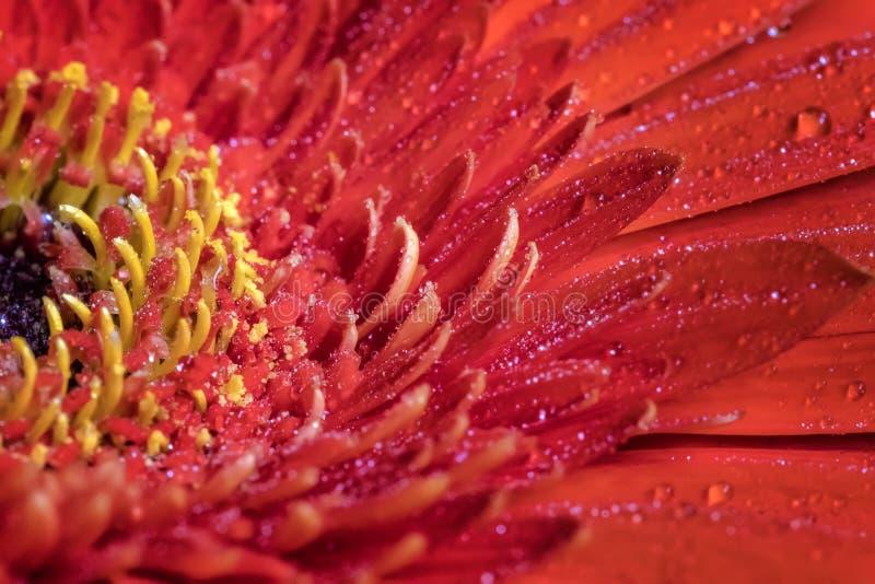Bello fiore rosso della gerbera con le gocce di acqua immagini stock libere da diritti