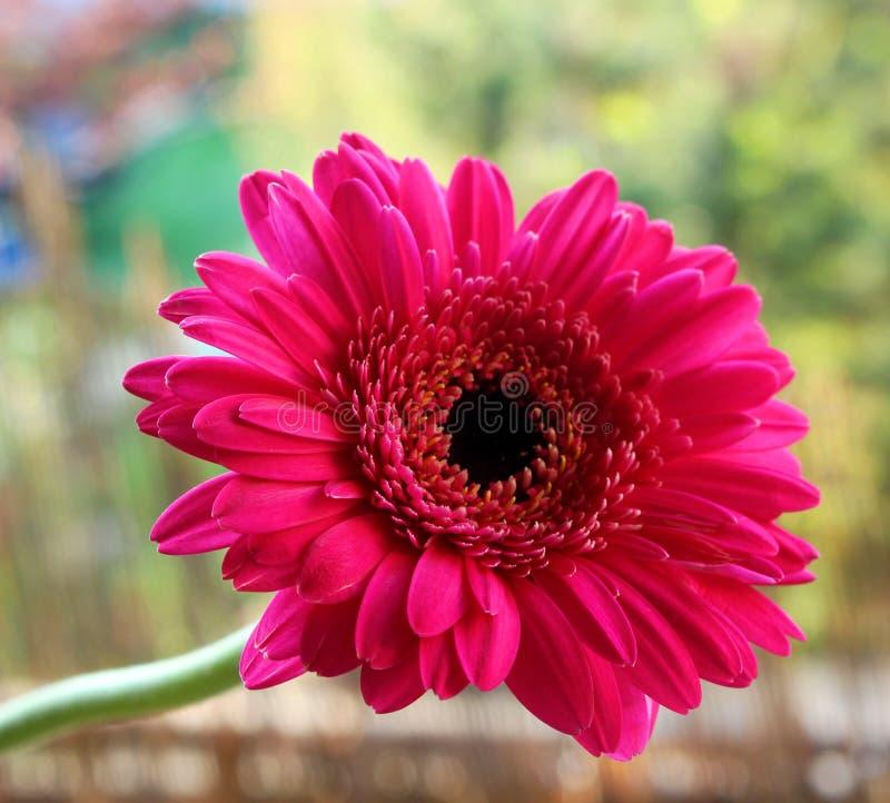 Bello fiore rosso della gerbera in giardino Concetto della natura Priorità bassa vaga immagine stock