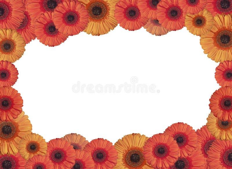 Bello fiore rosso e giallo del fiore della gerbera nel cerchio isolato su bianco fotografie stock