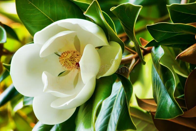 Fiore bianco di una fine della magnolia su fotografia stock