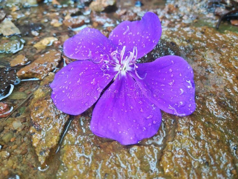 Bello fiore in Sri Lanka immagini stock libere da diritti