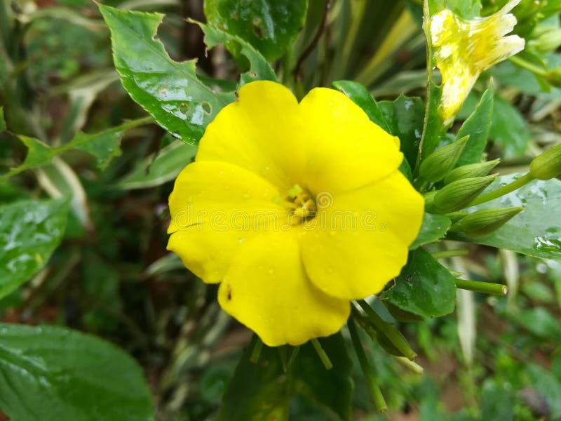 Bello fiore in Sri Lanka fotografia stock libera da diritti