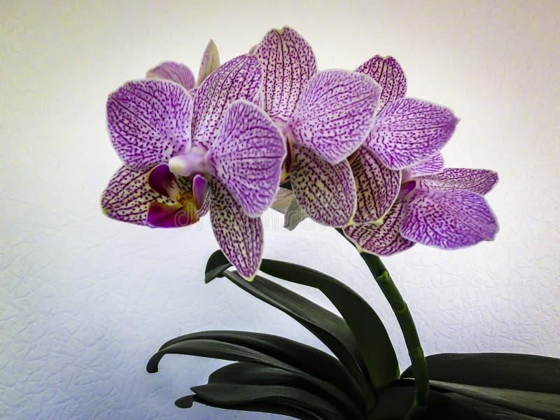 Bello fiore stesso dell'orchidea, phalaenopsis conosciuta come l'orchidea di lepidottero, con le bande ed i punti gialli, rossi e fotografia stock