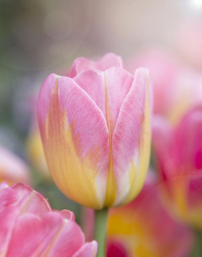 Bello fiore variopinto fresco del tulipano del primo piano con la luce calda di mattina sopra il giardino vago del tulipano fotografie stock