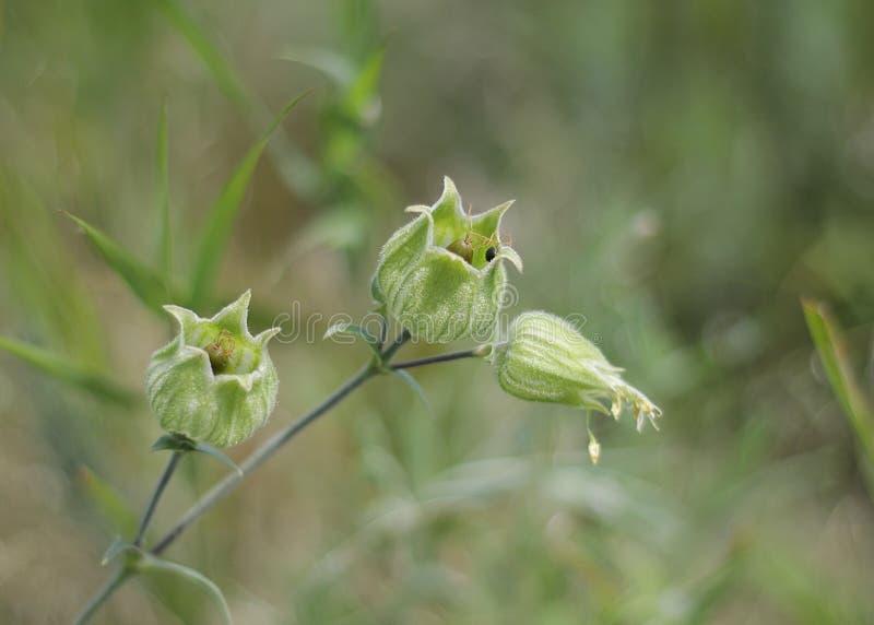 Bello fiore verde fotografia stock libera da diritti