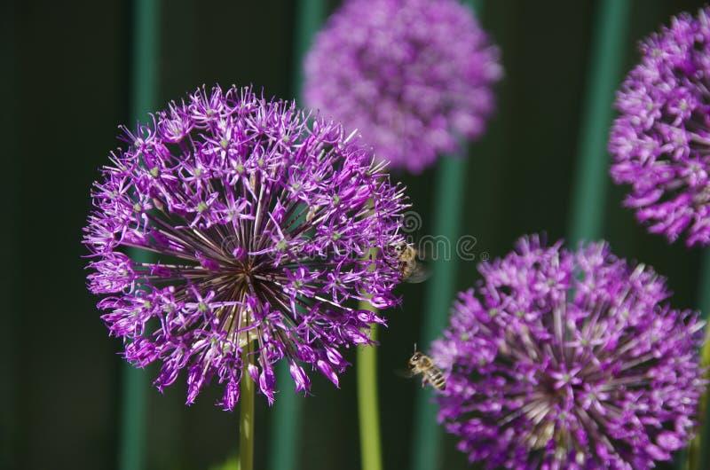 Bello fiore viola con le api d'impollinazione immagini stock