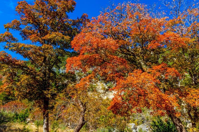 Bello fogliame di caduta luminoso sugli alberi di acero sbalorditivi immagine stock libera da diritti