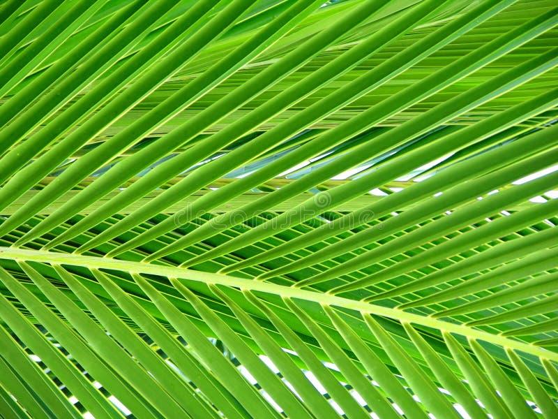 Bello foglio della palma fotografia stock libera da diritti