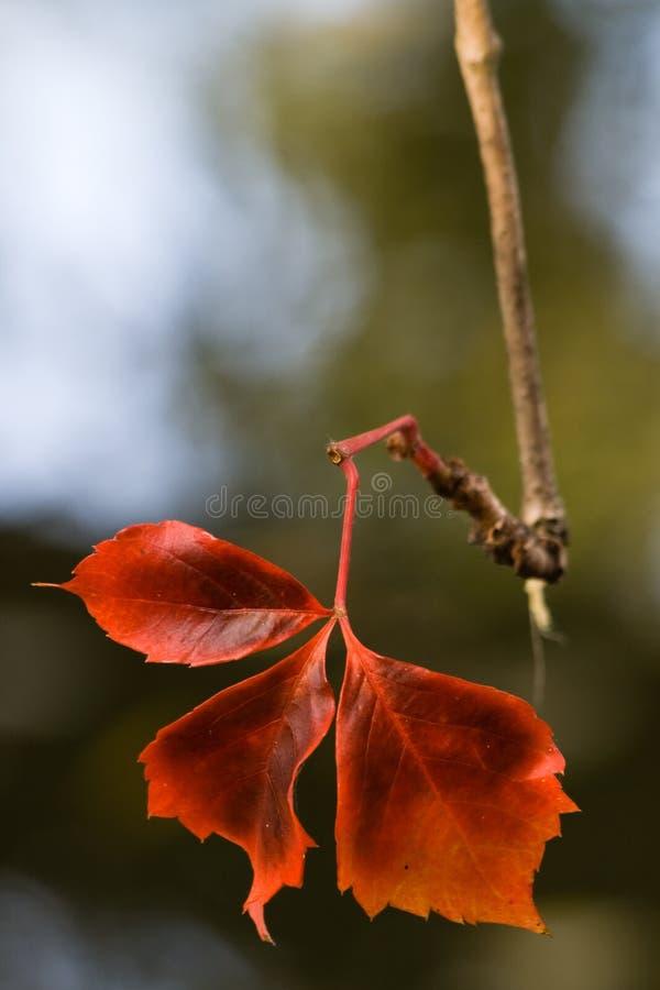 Bello foglio rosso fotografie stock libere da diritti